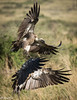 Vultures flying in Maasai Mara-Joe Saltiel