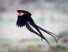 Widow bird-Joe Saltiel