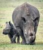 rhinos  in Ol Pejeta- Joe Saltiel