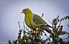 green pigeon -Joe Saltiel