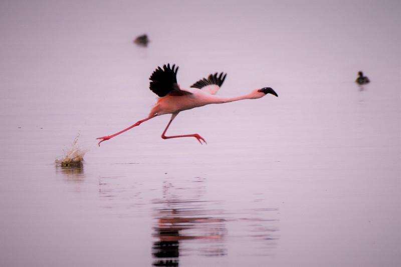 Flamingo taking off on Lake Nakura-Joe Saltiel