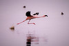 Flamingo taking off on Lake Nakura-Joe Saltiel