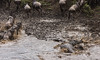 Wilderbeest crossing the Mara River-Joseph Saltiel