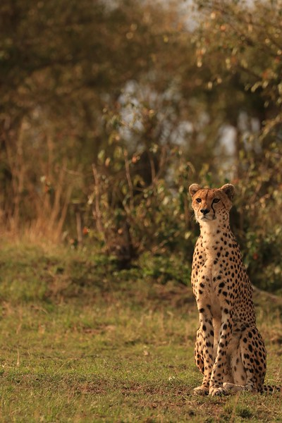 This momma cheetah has her eyes glued on distant prey. Her and her two juveniles had been unable to catch anything to eat in three days. This was not because they hadn't been trying - cheetahs hunt during the day but her and her youngsters were being relentless pursued by tour jeeps that interfered with their ability to successfully hunt. If they hunted at night, they would not have that issue - there is a curfew in the reserves. No vehicles can be moving around after dark except for the rangers. Violators are shot. This is an attempt to prevent poaching. Even as we watched from a distance, the cheetah started to run towards her intended prey and was cut off by a string of jeeps. Our guide was irate that they moved directly in her path to get a front view as she ran. Needless to say, she gave up her pursuit.Photo by Leah Bensen