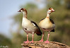 Egyptian geese - Joe Saltiel