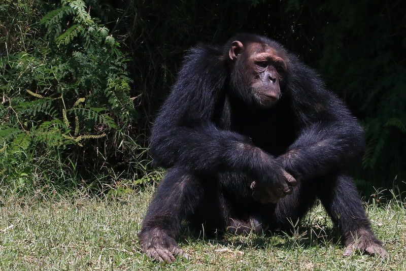 At the chimp sanctuary, this guy seemed like a sad old man. They have a lovely habitat to live in but no one knows what horrors he faced before coming to the sanctuary.<br /> Photo by Leah Bensen
