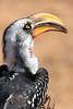 Yellow billed horn bill bird.  Photo by Leah Bensen