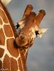 Giraffe portrait Joe Saltiel