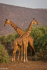 two giraffes-Joe Saltiel