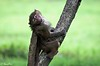 Baby Baboon Lake Nakuru photo by Joe Saltiel