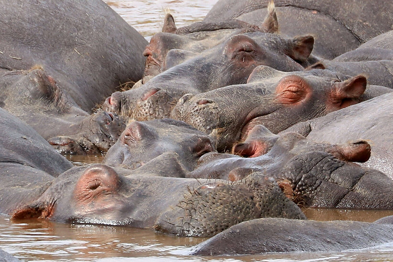 A herd of slumbering hippos in the river,  Hippos normally can't be out in the sun for too long because they can sunburn. For a large animal like this, their skin is surprising delicate. They spend the day in the river and come out in the evening to graze. If a hippo gets a serious wound, they are almost sure to die because going into the water attracts fish that bite out pieces of their flesh and if they stay on land, birds bite out pieces of their flesh. Hippos are extremely dangerous when they are out of the water because they feel vulnerable. Mistakenly standing between a hippo and water will result in you getting killed. Hippos, as cute and chubby as they seem, kill more people than any predator even though they are vegetarians. One of the guides told us a very sad story - all tourists are warned not to leave their tents if there are any wild animals around. A woman saw a hippo outside her tent grazing so she grabbed her camera and stepped outside to take a few pics. What she didn't realize was that there wasn't just one hippo out there, there were two. The other one came up while she was distracted and bit her in half. Their teeth are razor sharp.<br /> Photo by Leah Bensen