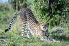 Cheetah in Masa Marai photo by Joe Saltiel