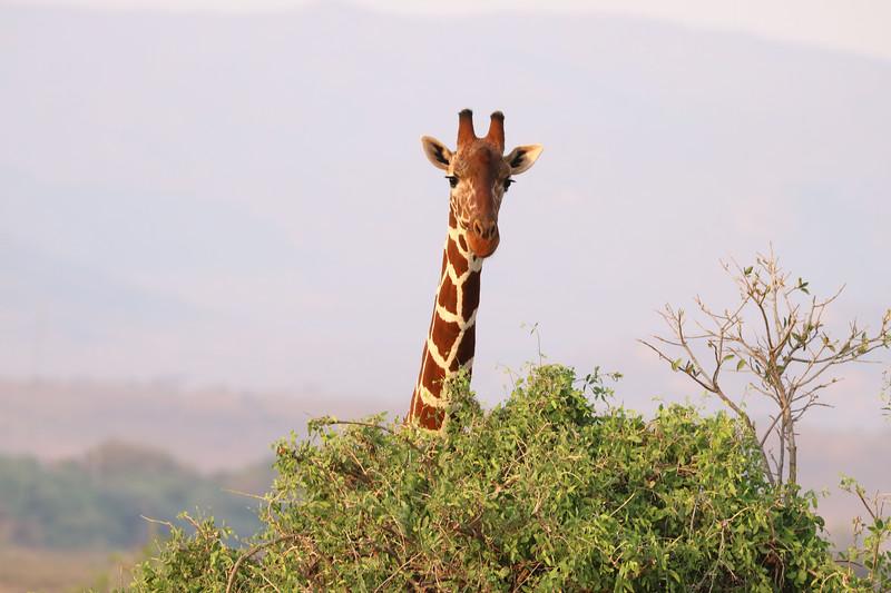 Adult giraffe.  Photo by Leah Bensen