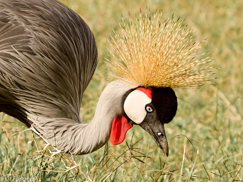 Grey crowned crane.  Photo by Liz Fortney.
