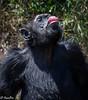 Chimpanze  in Ol Pejeta-Joe Saltiel