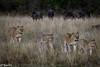 Lions Maasai Mara -Joe Saltiel