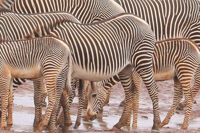 Zebras at a waterhole.  Photo by Leah Bensen