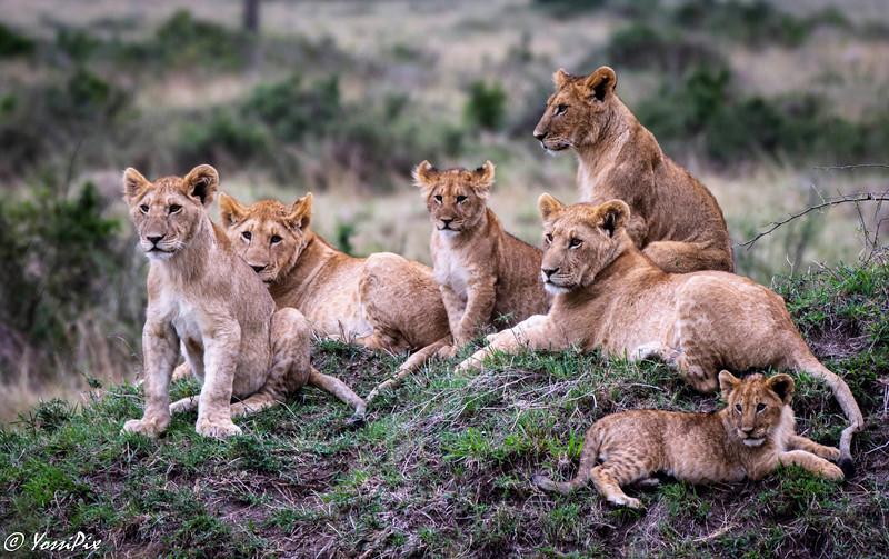 Lion cubs family-Joe Saltiel