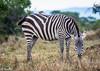 Zebra - Joe Saltiel