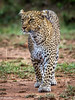 Leopard in Maasai Mara-Joe Saltiel