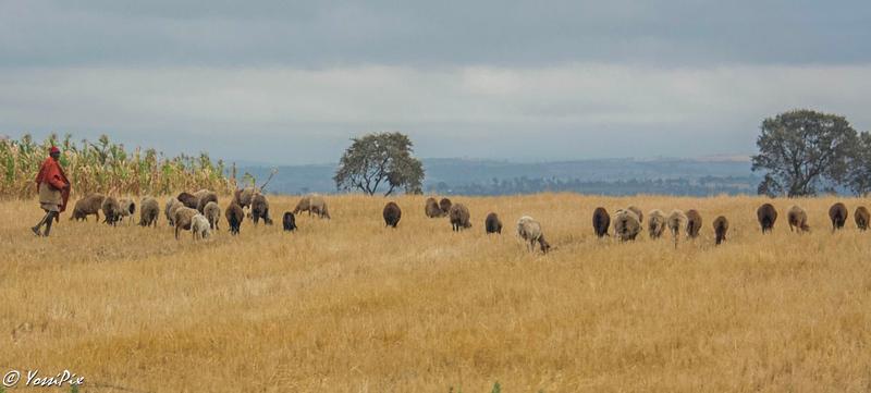 Maasai shepard tending to his sheeps on road to Maasai Mara photo by Joe Saltiel