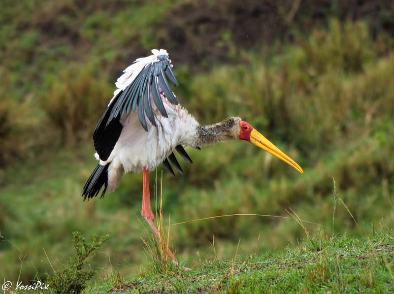 Yellow bill stork in Maasai Mara-Joe Saltiel