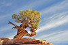 Lone Pine at Dead Horse Point - Jane Nowak