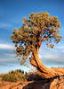 Dead Horse Point State Park-Utah Tree & Sky   by   Les Frair