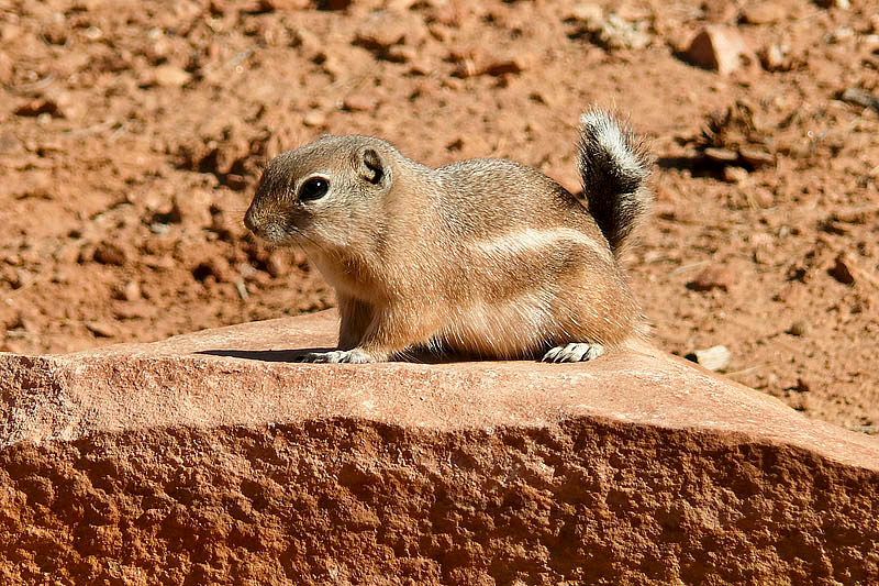 Wht-tailed_Antelope_Squirrel.  Photo by Tom Heath