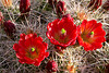 Cactus Flowers by Dave Milne