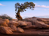 Dead Horse Point Tree by Ron Castle