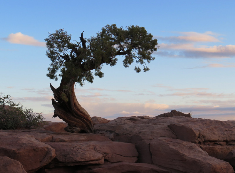 Twisted Juniper Dead Horse Point by Dorothy Hawley