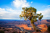 ROBERT'S TREE, DEAD HORSE POINT by RON CASTLE