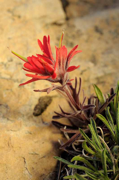 Indian Paintbrush photo by Bruce Schoppe