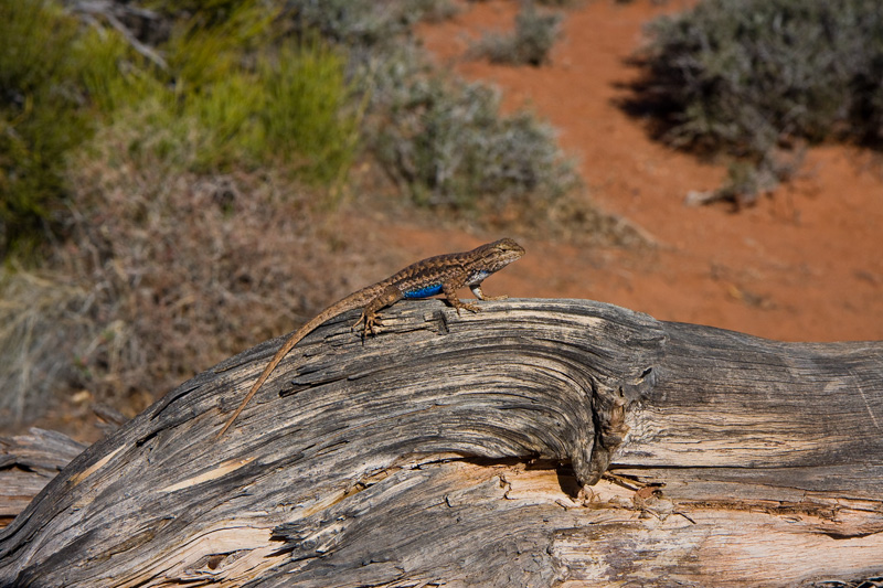 Blue Belly Lizard at Island in the Sky, photo by Jim Moore