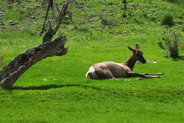 Elk nap time; Mammoth, Yellowstone Park; by Gary Whitney