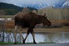 Moose at Oxbow Bend, by Gary Whitney