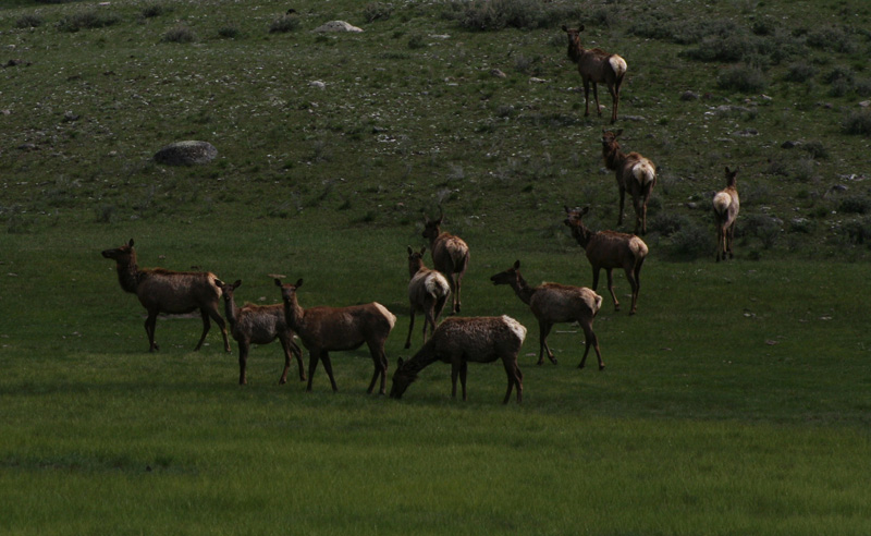 elk herd by Kris Orliss
