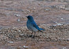 Western Bluebird by Jean Amundsen