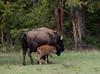 Mom and Newborn Calf - Larry Lezon