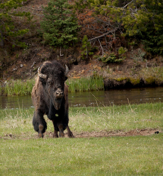 Bison by Wayne Stip, Yellowstone Natl. Park