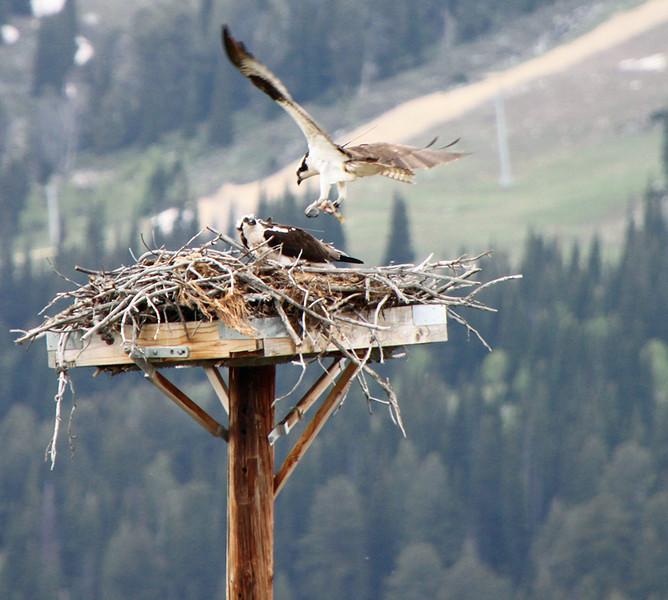 Dad's Bringing Dinner, Osprey Family, Grand Teton, by Karen Geisel