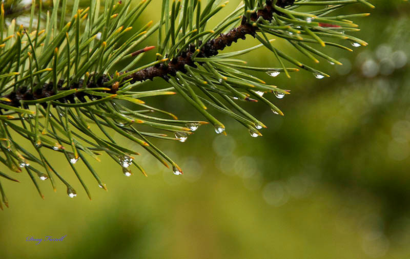Morning Dew on Pine - Doug Farrell