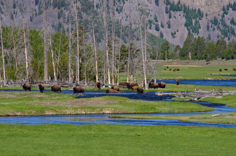 Bison and River Yellowstone N.P. photo by Ken Dvorak