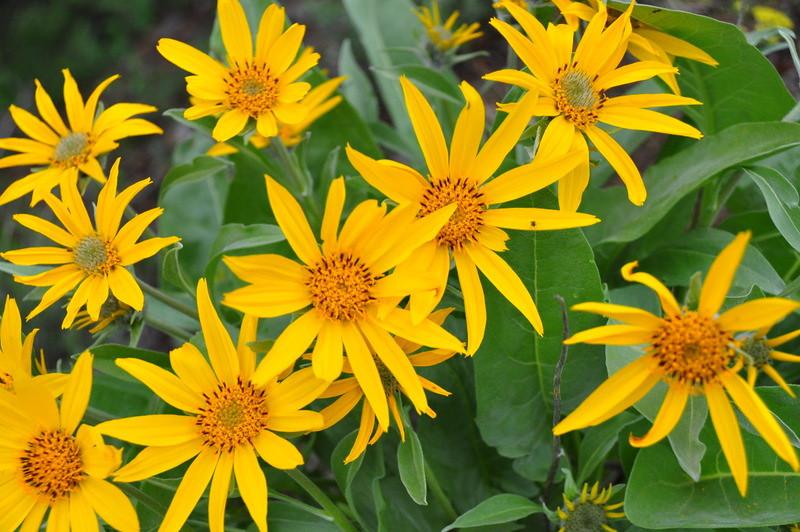 Flowers at Grand Teton  photo by Joellen Sbrissa
