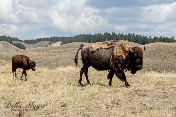 Cody to Yellowstone etc 2006