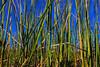 Everglades grass