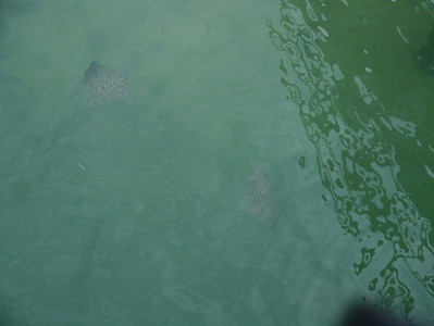 Spotted stingrays, Sunset Park, Key Colony Beach, Florida