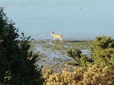 Deer - Orcas Island