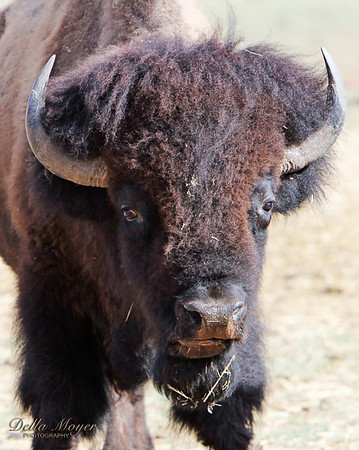Panhandle Bison